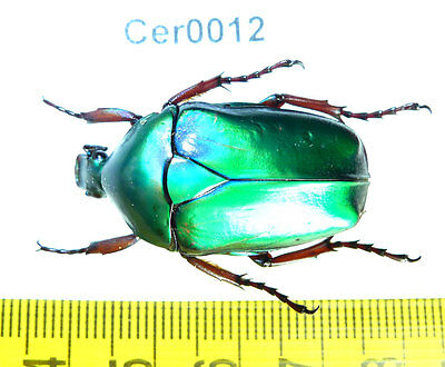 Cer0012 Cetoniidae Flower Beetle Real Insect Vietnam