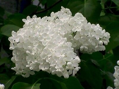 100 PCs White Japanese Lilac Seeds (Very Fragrant) Flower Seeds For Home Garden