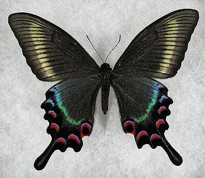 """Insect/Butterfly/ Papilio maackii - Female 3 3/4"""""""
