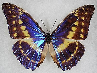 Insect/Butterfly/ Morpho cypris chrysonicus - Male Type II
