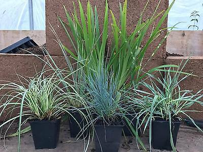 6 Mixed Grass  Plants mixed  Colours Ornamental Grasses Selection