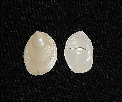 "Crepidula Plana - "" Fossils From The Caloosahatchee Formation""lot# 2235"