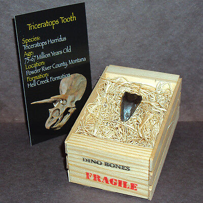 Large Triceratops Tooth w/Crate! Real Montana Dinosaur Fossil ~ Jurassic World