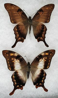 Insect/Butterfly/ Papilio ssp. - Pair 3 1/4""
