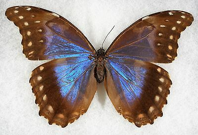 Insect/Butterfly/ Morpho didius ssp. - Female 6""