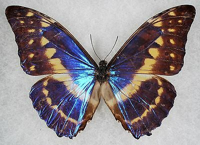 Insect/Butterfly/ Morpho cypris chrysonicus - Male Type I