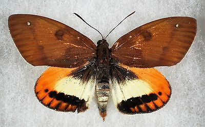 "Insect/Moth/ Castnia ssp. - Female 3"" Type I"