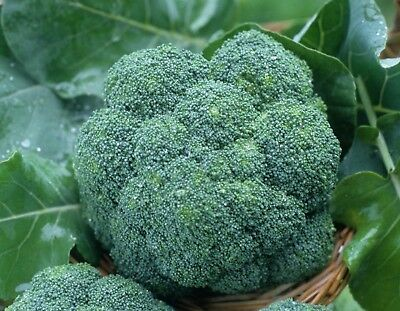 Broccoli WALTHAM 29 - 100 Seeds ( HEIRLOOM / ORGANIC ) Vegetables