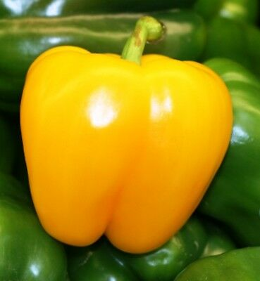 Capsicum GOLDEN CALWONDER 10 Seeds (HEIRLOOM / ORGANIC) Gold Californian Wonder