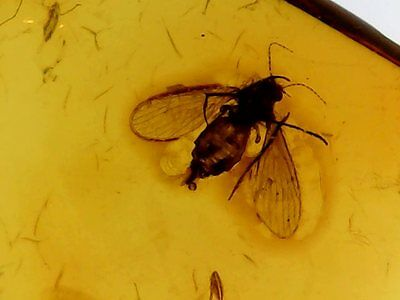 Baltic Amber with Moth Fly Inclusion (Nematocera: Psychodidae) .(#071)