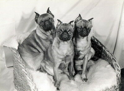Vintage Photo~Three Brussels Griffon Dog Dogs in Basket~NEW Large Note Cards