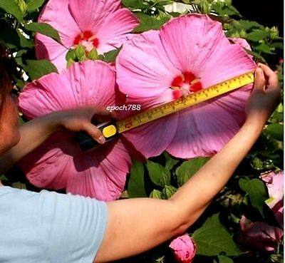 100 Giant Hibiscus Flower Seeds Home Garden Bonsai Mixed Color