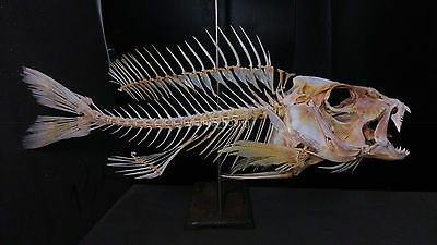 Amazing snapper fish skeleton