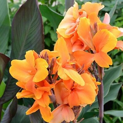 CANNA LILY J D CABOS dark leaf golden apricot blooms