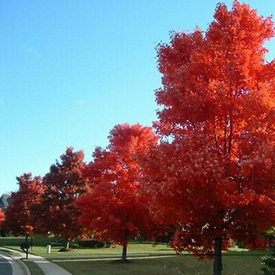 20Pcs Beautyful Red Japanese Maple Palmatum Atropurpureum Tree Seeds Home Garden