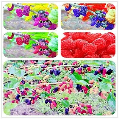 3 Colors Super Big Mulberry Fruit Seeds Pots Strawberry Bonsai Blackberry/100pcs