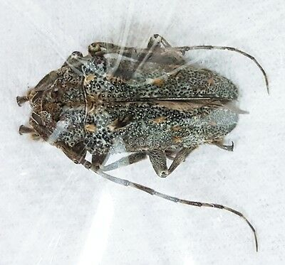 Beetles - Insects - Cerambycidae - unidentified sp. *Rare* A1 26mm from Togo !!!