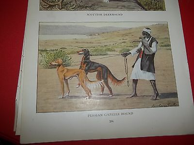 Louis A Fuertes Saluki bookplate from 1919 National Geographic Magazine