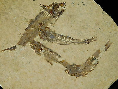 School of FOUR! Small 100% Natural Fish Fossils 50 Million Years Old Wy 131gr