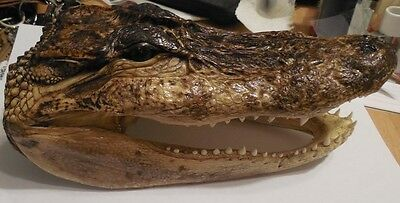 New Amazing 8+ Inches  Genuine Alligator Head Skull Real Taxidermy