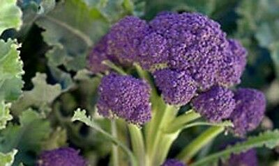 Broccoli EARLY PURPLE SPROUTING 100 Seeds (HEIRLOOM) Vegetables