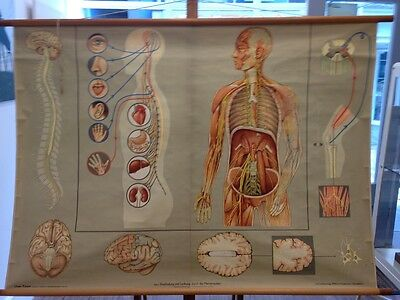Vintage Anatomical/medical chart