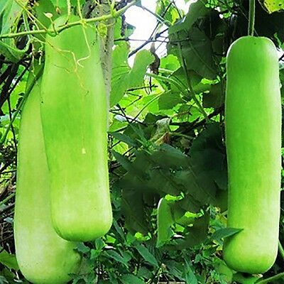Long Bottle Gourd Seed Lagenaria Siceraria Green Vegetable Fresh Hot Yard