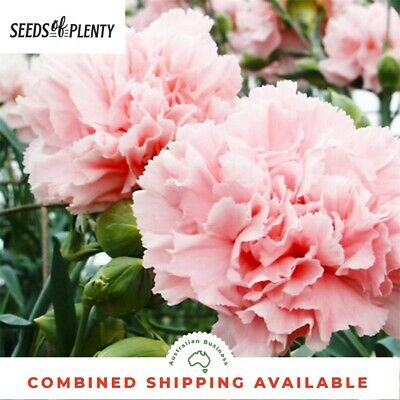 CARNATION - La France (200 Seeds) Spectacular Blooms BEAUTIFUL CUT FLOWER