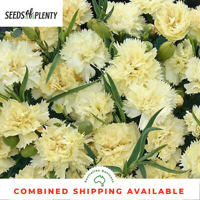 CARNATION - Marie Chabaud (200 Seeds) Spectacular Blooms BEAUTIFUL CUT FLOWER