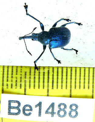 Be1488 Curculionidae Coleoptera Beetle Real Insect Vietnam