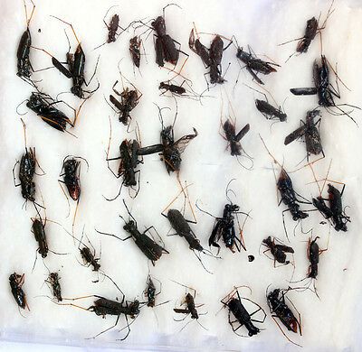 Insects for study and collection for French Guiana CICINDELINAE