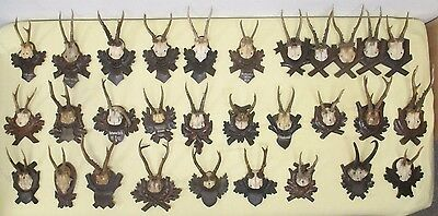 30 Antique Pieces of Black Forest Plaques with Roebuck Antlers