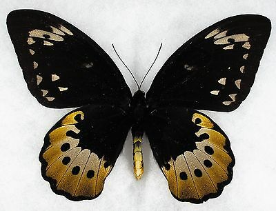 """Insect/Butterfly/ Orn. goliath samson - Female 7"""""""