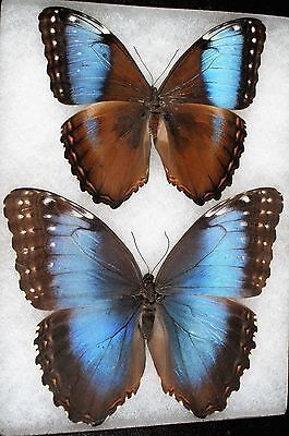 """Insect/Butterfly/ Morpho marineta - Pair 5"""""""