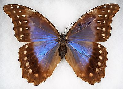 """Insect/Butterfly/ MOPHO MENELAUS ALEXANDROVNA - Female 6"""""""