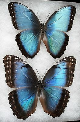 """Insect/Butterfly/ Morpho ssp. - Pair 4 3/4"""""""