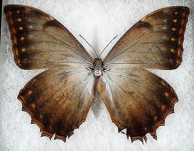 """Insect/Butterfly/ Morpho ssp. - Male 5"""""""