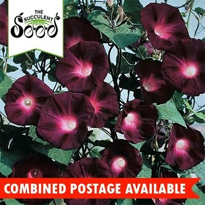 MORNING GLORY - Knowliands Black (30 Seeds) UNUSUAL WITH STRIKING COLOUR
