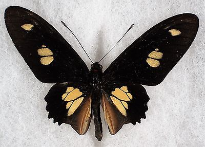 """Insect/Butterfly/ Papilio tripas - Male 2.5"""""""