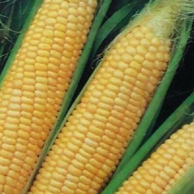 "Corn ""Extra Early Extra Sweet"" Very High Sugar Content  F1 Hybrid 40+ SEEDS"