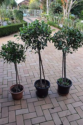 Fig trees 1 metre tall $40 each  Chatswood 2067 Pickup
