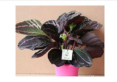 UNIQUE!!! Rare Calathea Seeds Air Freshening plants High Humidity, 100 PC