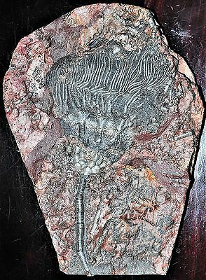 Superb Large 7 Lbs 31 X 23 Cm Camerate Crinoid From Morocco! Devonian
