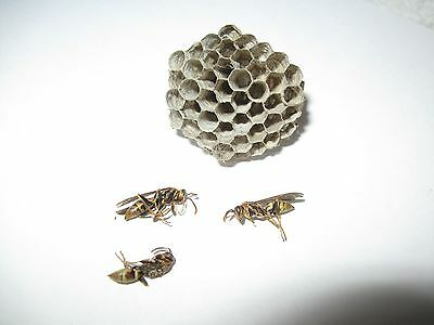 Texas Honeycomb Yellow Jacket Nest & 3 WaspsTaxidermy Science Project Boy Scouts
