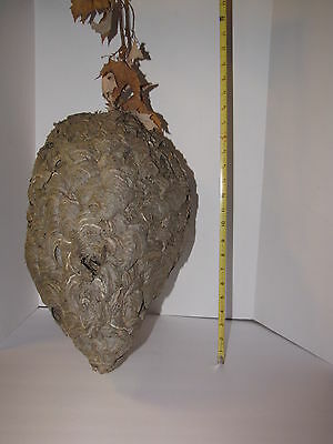 Large Hornet Nest 18 Inches In Length