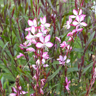 GAURA ROSIE JANE unusual