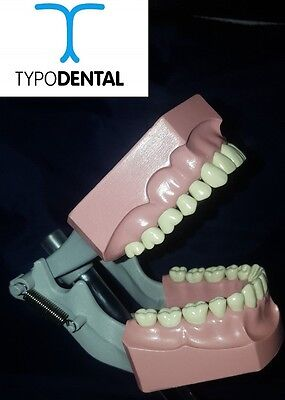 Typodont Dental Model 560R works with Columbia brand teeth