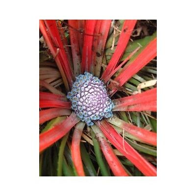 Bromeliad Fascicularia bicolor - 'Chilean Blood Grass'