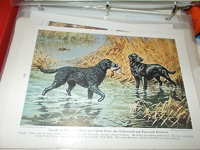 Walter A. Weber Curly-Coated & Flat-Coated Retriever bookplate 1947 National Geo