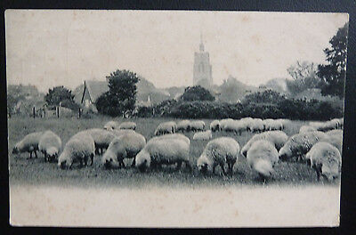 Vintage Animal Postcard- Sheep Grazing